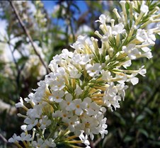 whitebutterflybush