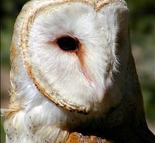 031504 Barn Owl Petrie 83