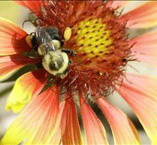 bumble bee 004.jpg