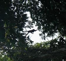 PV_Manzanillo_Howler_tree