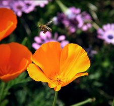 Bees & Poppies 5