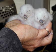 052804 Western Screech Owlets 15
