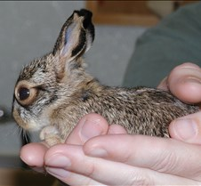 061604 Jack rabbit baby 50