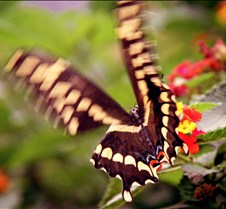 Bug Fair Swallowtail 2