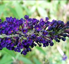 bluebutterflybush