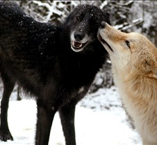 010204 Wolves Tundra Spirit 42