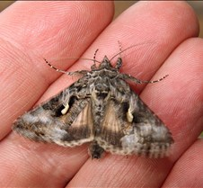 Furry Moth 2