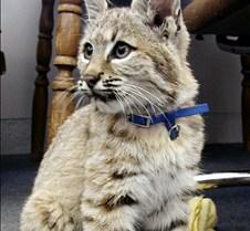 091102 Bobcat Kitten 61