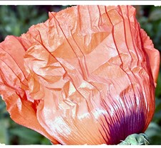 Unfolding Poppy Bloom
