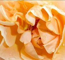 peach-rose-cu