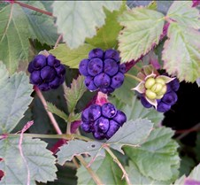 purpleberries2
