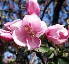 pinkflowertree