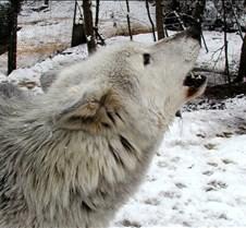 010204 Wolves Tsar 69