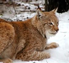 010204 Eurasian Lynx Nikki 114