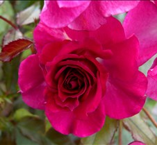 pinkrose5