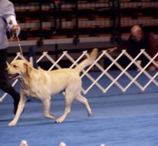 Dog Show Yellow Labrador