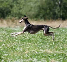 Saluki_7_July_Run2_Test_Dog_4175CR