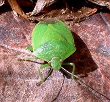 Mr.GreenBug