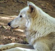 092204 Wolf Tsar 59