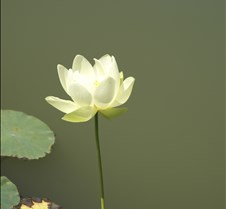 Standing Tall Water Lilly