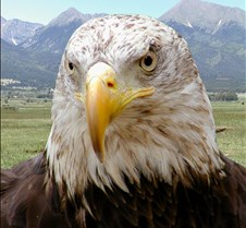 102903 Bald Eagle Defiance 54b