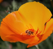 Bees & Poppies 1