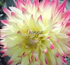 yellow-pink flower