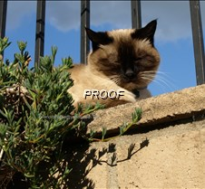 Photo taken on 03132010 @ 1540 - siamese
