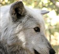 100902 Wolf Tsar 146