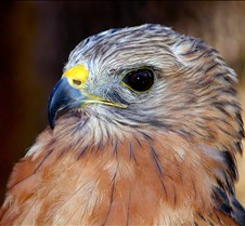 101703 Red Shouldered Hawk 196
