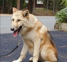 100303 Wolf Juv Spirit 90