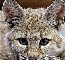 091102 Bobcat Kitten 58