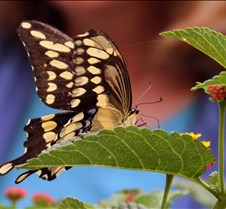 Bug Fair Swallowtail 5
