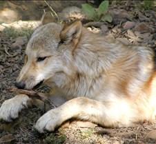 091903 Wolf Spirit 268