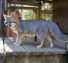 101703 Gray Fox Merry 172