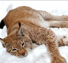 010204 Eurasian Lynx Nikki 107