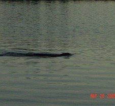 37.Beaver in Jack lake