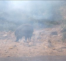 Boar on side of road