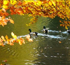 Fall Ducks