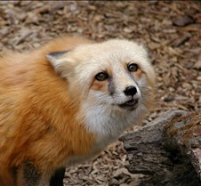 101503 Red Fox Winona 170