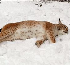 010204 Eurasian Lynx Nikki 117