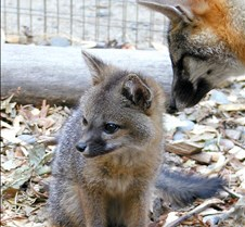 081303 Gray Fox Kit 13