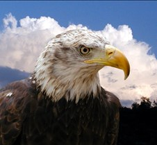 102903 Bald Eagle Defiance 71b