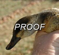 11/25/2008 Duck Heron