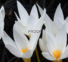 fall crocus2