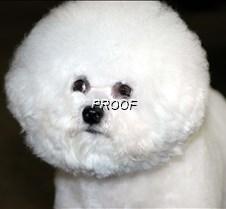 Bichon Frise 2