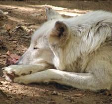 092204 Wolf Tsar 58