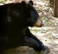050504 Black Bear Janie 19