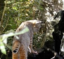 102403 Bobcat Rufus 215