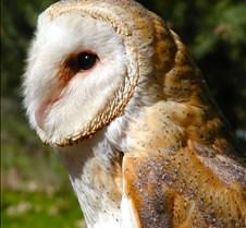 031504 Barn Owl Petrie 72